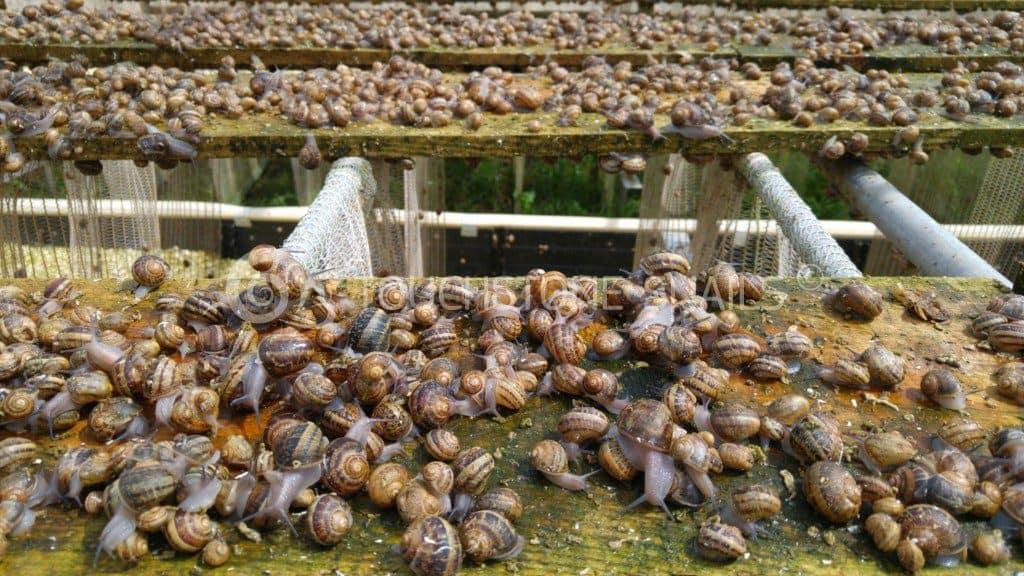 Бизнес выращивание виноградной улитки 60